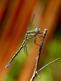 Tri-coloured Marsh Hawk Orthetrum luzonicum Female by kadavoor.JPG
