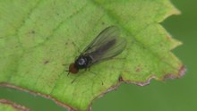 File:Trichinomyia flavipes - 2014-09-08.webm