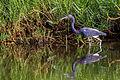 Tricolored Heron - Garza Pechiblanca (Egretta tricolor ruficollis) (12490376893).jpg