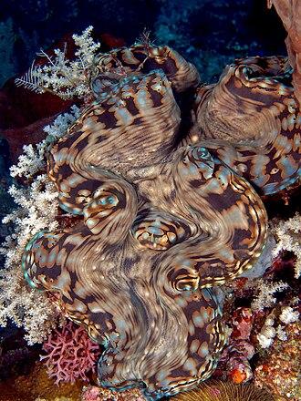 Fluted giant clam - Image: Tridacna squamosa (Giant clam) Manatuto