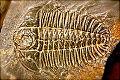 Trilobiit.jpg