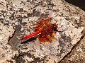 Trithemis kirbyi uhuru park 2.jpg