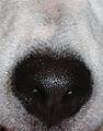 Trufla nosa psa.jpg