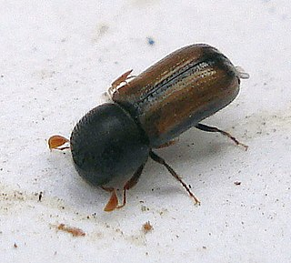 <i>Trypodendron domesticum</i> species of insect
