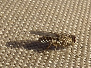 TseTse fly in Tanzania 3463 cropped Nevit.jpg