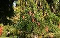 Tsuga-heterophylla-cones.JPG