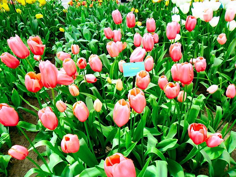 Tập tin:Tulip Hà Lan 1.jpg