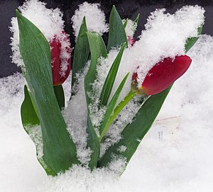 Tulips covered in snow.jpg