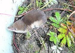 Tundra shrew (Sorex tundrensis).jpg