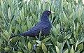 Turdus merula - Common blackbird 2016-12-10 03-1.jpg