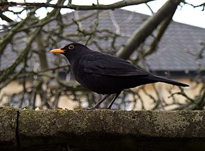Common Blackbird, also called Eurasian Blackbi...