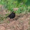 Turdus merula male in Aveyron (1).jpg