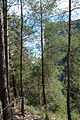 Turkish pine trees, Canyon Kapıkaya 14.JPG