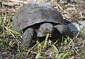 Turtle 2421.jpg