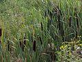Typha latifolia02.jpg