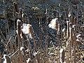 Typha sp. (cattails) (northwestern Jackson County, Ohio, USA) 1 (40110208215).jpg
