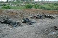 US Navy 030507-M-5882G-055 Human remains found at mass gravesites near a farm on the outskirts of Al Mahawil.jpg