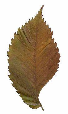 Ulmus Leave Vector Herbs