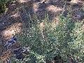 Unbekannter Strauch nahe Northstar California Resort, Sierra Nevada.jpg