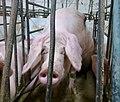 Undercover Investigation at Manitoba Pork Factory Farm (8250113671).jpg