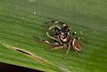 Undescribed Opisthoncus sp. (14517294382).jpg