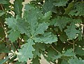 Upright English Oak Quercus robur cv. Fastigiata Leaves 2600px.jpg