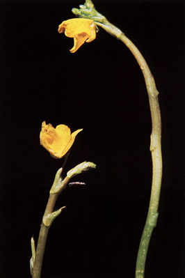 Utricularia minor USDA.jpg
