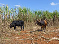 Vallée de Viñales-Boeufs dans un champ de canne à sucre.jpg