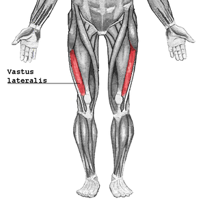 Vastus lateralis muscle - Vastus lateralis