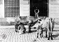Vendedor leche domicilio 1890.jpg