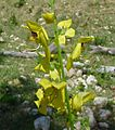 Verbascum sp. - Flickr - gailhampshire.jpg