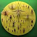 Verona, museo civico di storia naturale, esposizione di insetti, ortotteroidei.jpg
