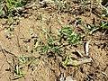 Vicia dumetorum sl1.jpg