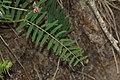Vicia nigricans 4999.JPG