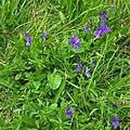 Viola guestphalica 01.jpg