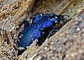 Violet Ground Beetle (Carabus problematicus) hibernating in dead wood (13536164754).jpg