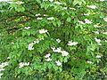 Virburnum plicatum1.jpg