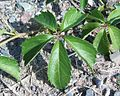 Virginia Creeper plant.jpg
