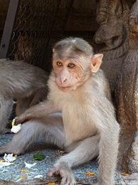 Virupaksha monkey 5.JPG