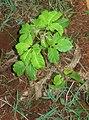 Vitex keniensis seedling, Kiangungi Environmental Network, Embu District, Kenya.jpg
