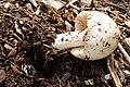 Volvopluteus gloiocephalus (27452453853).jpg