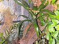 Vriesa sp epiphyte.jpg