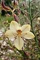 Wachendorfia paniculata kz4.jpg