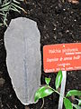 Walchia piniformis (Jardin des Plantes de Paris).jpg