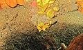 Warty Frogfish (Antennarius maculatus) (6062189826).jpg