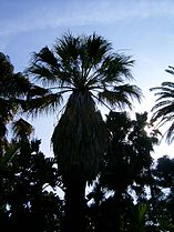 Washingtonia filifera 2.jpg