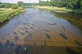 Wasserhahnenfuss in der Mulde k2.jpg