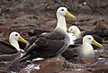 Waved Albatross (Phoebastria irrorata) -Espanola -Punta Suarez3.jpg