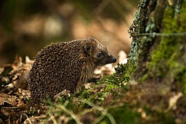 West European Hedgehog (Erinaceus europaeus)2.jpg