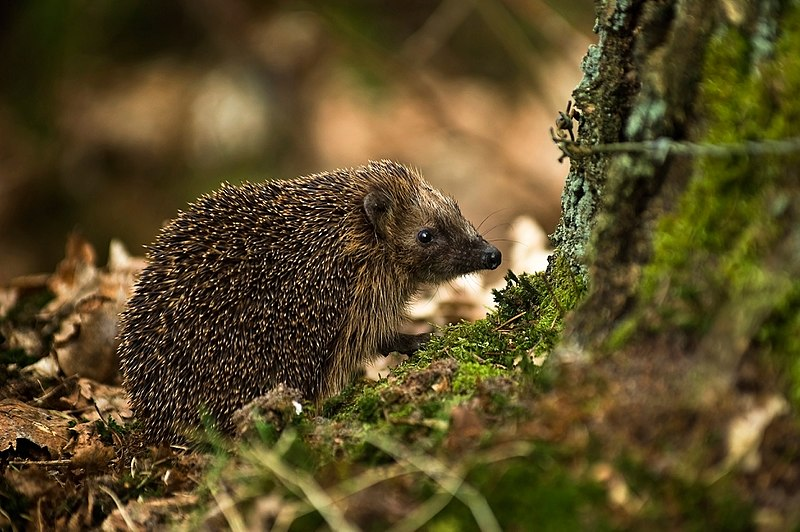 File:West European Hedgehog (Erinaceus  europaeus)2.jpg
